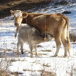 cow nursing